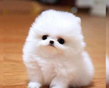 Cute Pomeranian Puppies Videos Compilation #3 | Funniest Pomeranian Videos 2017 - cute pomeranian puppies videos compilation 3 funniest pomeranian videos 2017