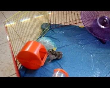 funny hamster clip - funny hamster clip
