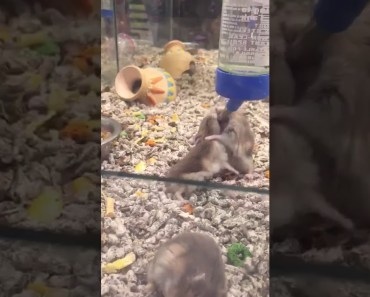 FUNNY HAMSTER FIGHT!!!!MUST SEE - funny hamster fightmust see
