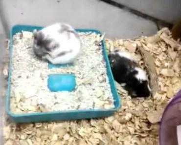 Funny Hamster Lui N Yella Making Love XD - funny hamster lui n yella making love