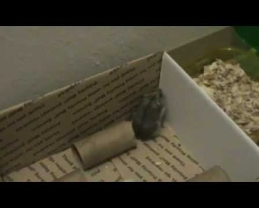 Funny hamsters Mr. Skittles smells freedom in the maze)))) Funny hamster video hamster in the maze - funny hamsters mr skittles smells freedom in the maze funny hamster video hamster in the maze