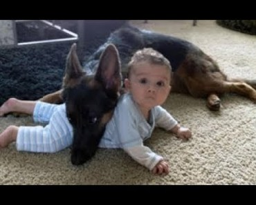 German Shepherd Protecting Babies And Kids - german shepherd protecting babies and kids
