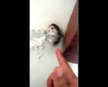 Hamster Playing Dead (Troll Hamster) - hamster playing dead troll hamster