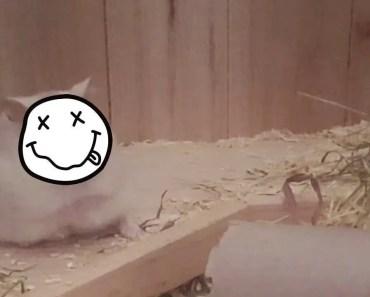 Minervana - Smells like Teen Hamster - minervana smells like teen hamster