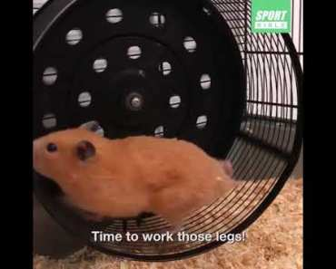 Motivating Hamster To Work Out - The Funny Channel - motivating hamster to work out the funny channel