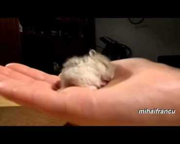 My Baby Hamster Snoring CUTE, funny fails, funny cat and dog - my baby hamster snoring cute funny fails funny cat and dog
