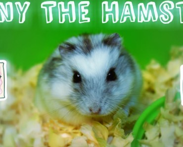 Shy Hamster Nibbling at a Grape | Tony The Hamster - shy hamster nibbling at a grape tony the hamster
