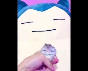 Tiny Cute Hamster Grooming Gif (Pokemon Snorlax!) - tiny cute hamster grooming gif pokemon