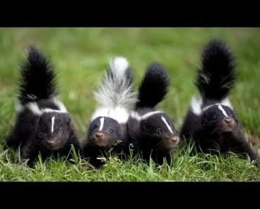 Top Cutest Skunk Videos Compilation 2017 [BEST OF] - top cutest skunk videos compilation 2017 best of