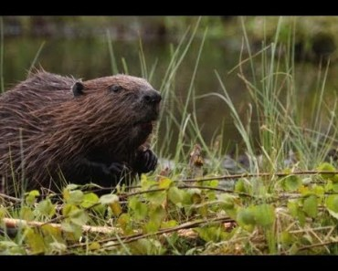 Top Funny Beaver Videos Compilation 2017 [BEST OF] - Cute Animals - top funny beaver videos compilation 2017 best of cute animals