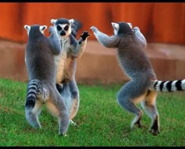 Top Funny Lemur Videos Compilation 2017 [BEST OF] - top funny lemur videos compilation 2017 best of