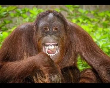 Top Funny Orangutan Videos Compilation 2017 - Cute Animals [BEST OF] - top funny orangutan videos compilation 2017 cute animals best of