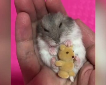 ADORABLE - This Hamster cuddles his teddy bear to sleep - adorable this hamster cuddles his teddy bear to sleep