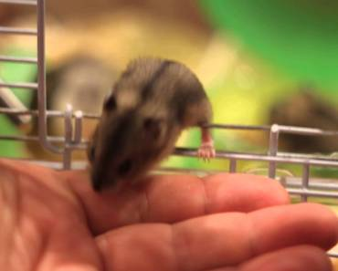Baby hamster emerged from the cage in the man's hand - baby hamster emerged from the cage in the mans hand