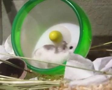 Big Turbo Hamsters - big turbo hamsters