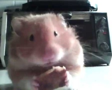 Cute teddy bear hamster eating pizza - cute teddy bear hamster eating pizza
