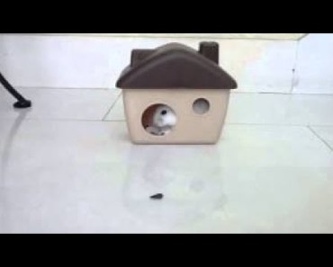 CUTEST HAMSTER FUNNY HAMSTER COMPILATION 2017 FULL HD NEW - cutest hamster funny hamster compilation 2017 full hd new