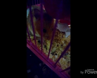Funny animals hamster and cute hamster videos - funny animals hamster and cute hamster videos