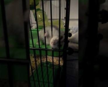 Funny Hamster ever - funny hamster ever