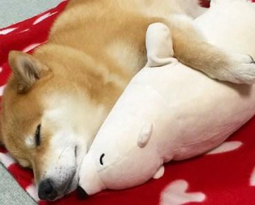 Funny Shiba Inu Compilation 2017 - Best Funny Shiba Inu Videos Ever - funny shiba inu compilation 2017 best funny shiba inu videos ever