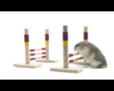 Hamster does tiny hurdles - Soda Pop in training - hamster does tiny hurdles soda pop in training