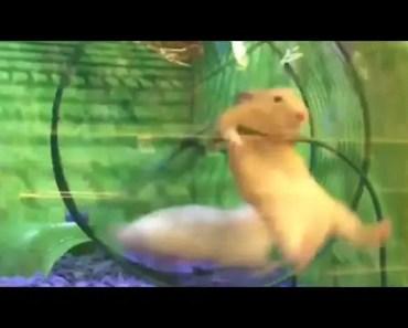 Hamster epically fails on hamster wheel - hamster epically fails on hamster wheel