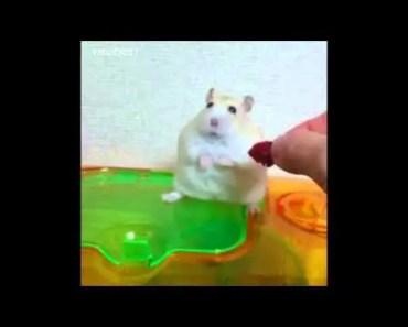 HAMSTER RAYADO - hamster rayado