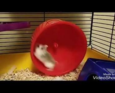 HAMSTERS - Funny Hamster Wheel - BackFlips - hamsters funny hamster wheel backflips
