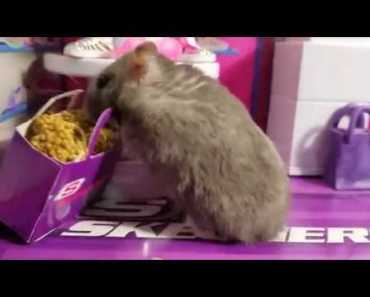 Happy Hamster Visits Tiny Shoe Store - Cute Animal Vid - happy hamster visits tiny shoe store cute animal vid