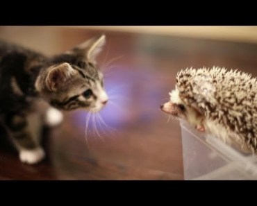 KITTEN MEETS HEDGEHOG - kitten meets hedgehog
