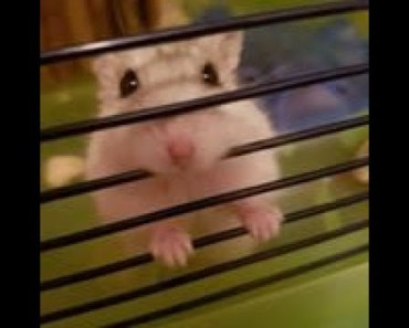 Little Biscuit The Hamster - little biscuit the hamster