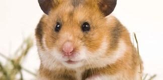 Glaucoma - Hamster Health