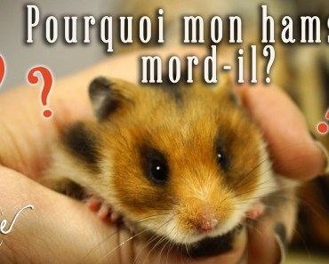 Pourquoi mon hamster mord-il? - pourquoi mon hamster mord il
