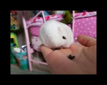 Pudding the hamster - pudding the hamster