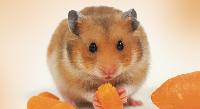 Can Hamsters Eat Mango