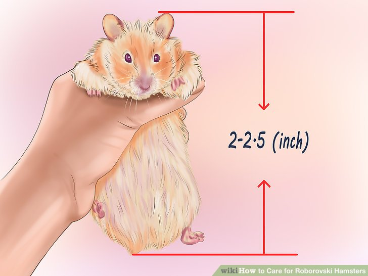 Choose a young hamster