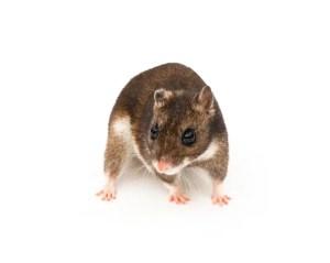 Eversmann's hamster