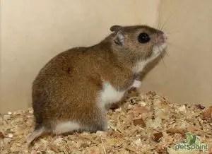 Gansu hamster