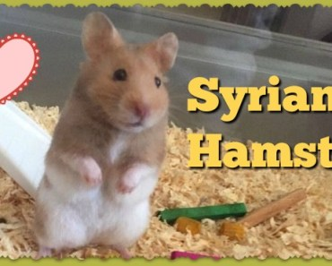 Syrian Hamster Weight