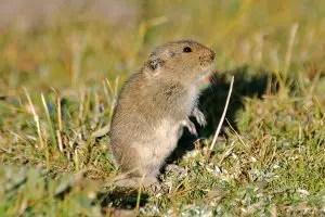 Tibetan dwarf hamster
