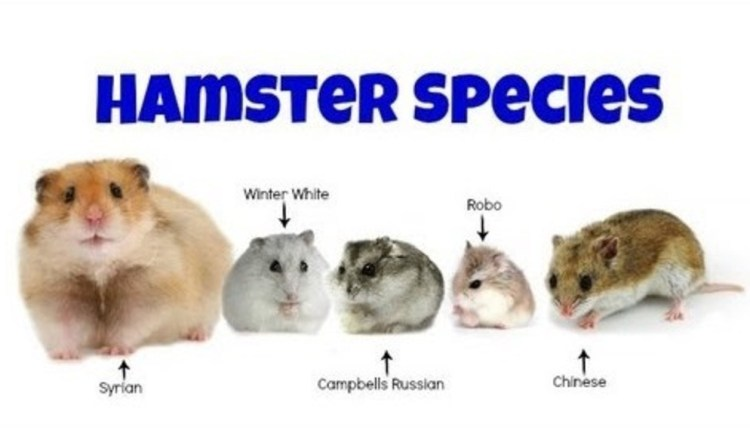 Types of Hamsters