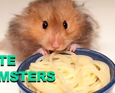 CUTE EATING HAMSTERS COMPILATION - cute eating hamsters compilation