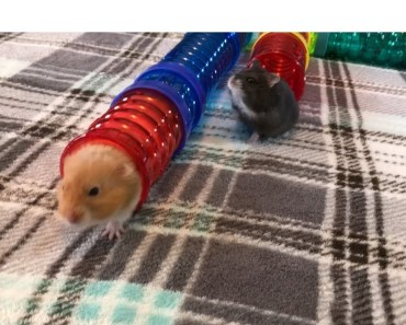 EPIC HAMSTER RACE! Made With Critter Trail Tubes - epic hamster race made with critter trail tubes