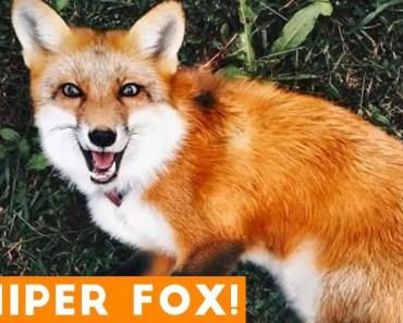 Funniest Juniper Fox Video Compilation | Funny Pet Videos - funniest juniper fox video compilation funny pet videos