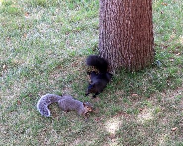 Funny SQUIRRELS: Play, play, play, then relax like puppies - Nature, CANADA - funny squirrels play play play then relax like puppies nature canada
