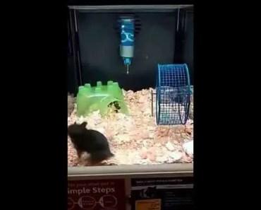 Hamster Dance- FUNNY!! - hamster dance funny