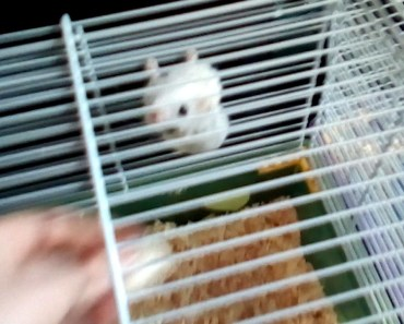 Hamster trying to take gum - hamster trying to take gum