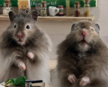 HAMSTERS TRY COOK OUR FOOD! - hamsters try cook our food