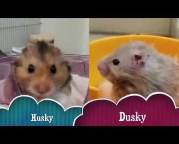 Husky Dusky - Funny and Cute - Pet Hamsters - husky dusky funny and cute pet hamsters