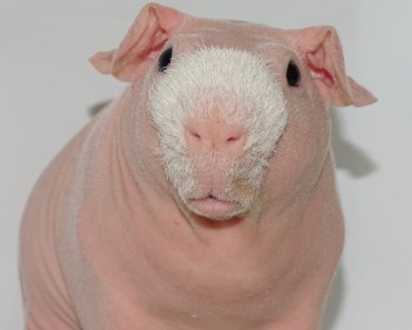 Meet The Bald And Beautiful Skinny Pig | CUTE AS FLUFF - meet the bald and beautiful skinny pig cute as fluff